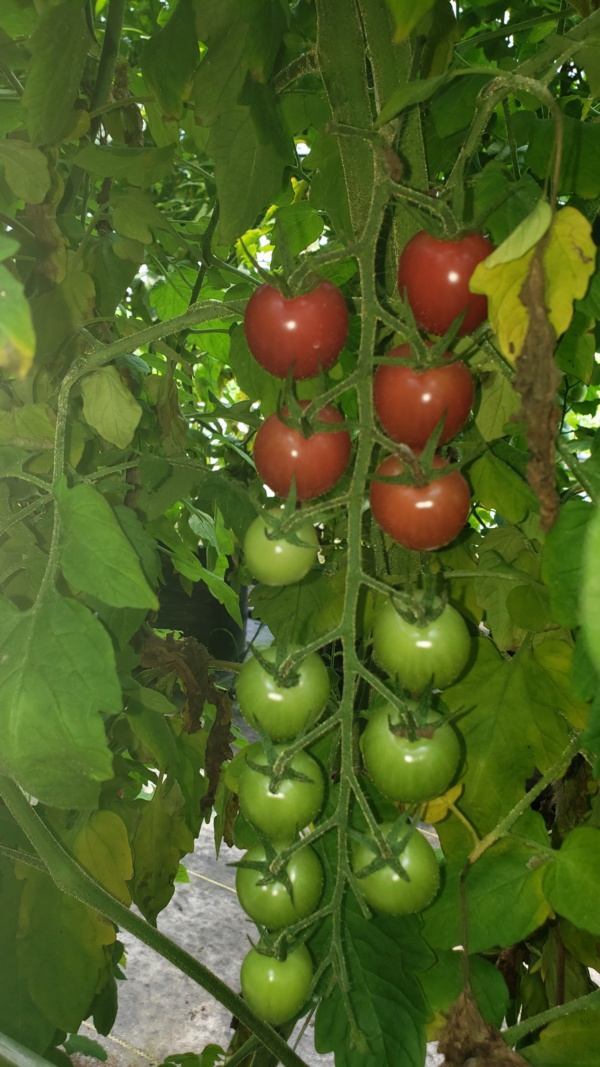 Cherry Tomatoes growing.jpg Thumbnail